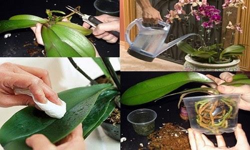 Chăm sóc lan sau trồng cực kỳ quan trọng