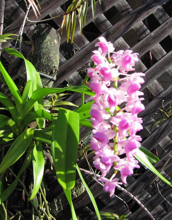 Màu sắc hoa lan quế khá đa dạng