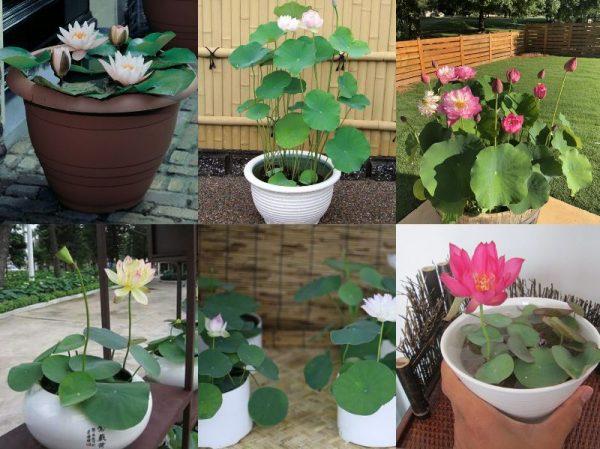 Các loại hoa sen mini
