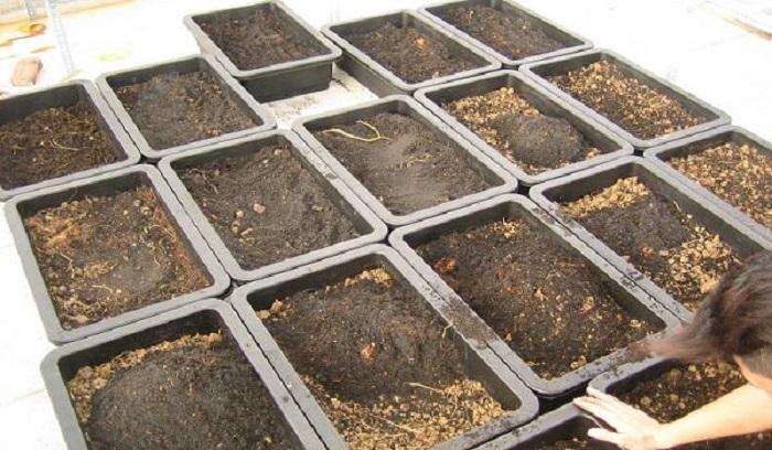 kỹ thuật trồng rau cải xoong