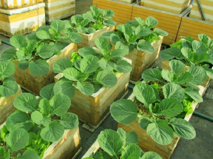kỹ thuật trồng rau bắp cải