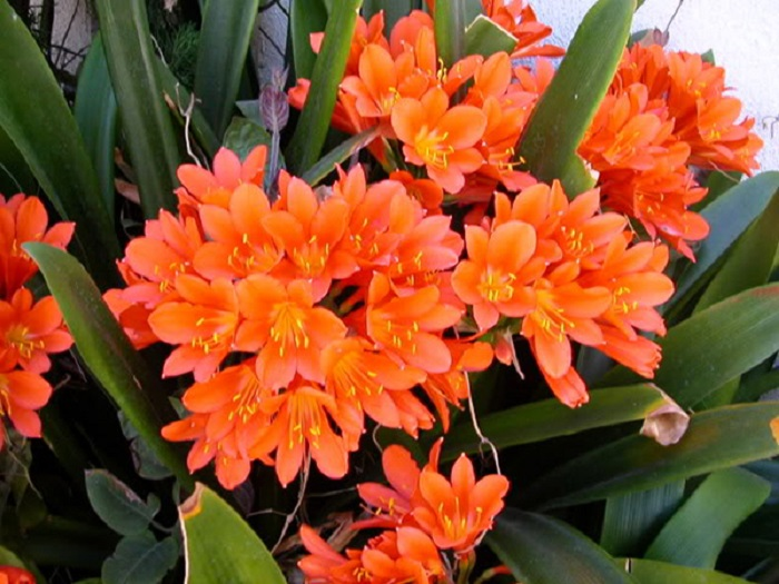 làm đất trồng hoa lan quân tử