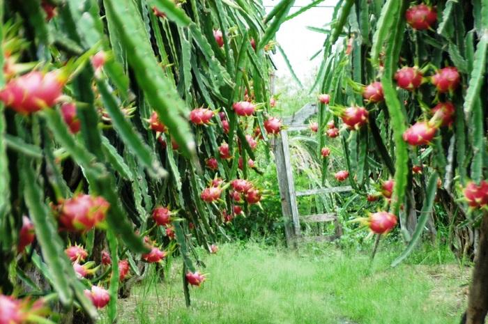 hệ thống tưới nhỏ giọt cho vườn cây ăn trái