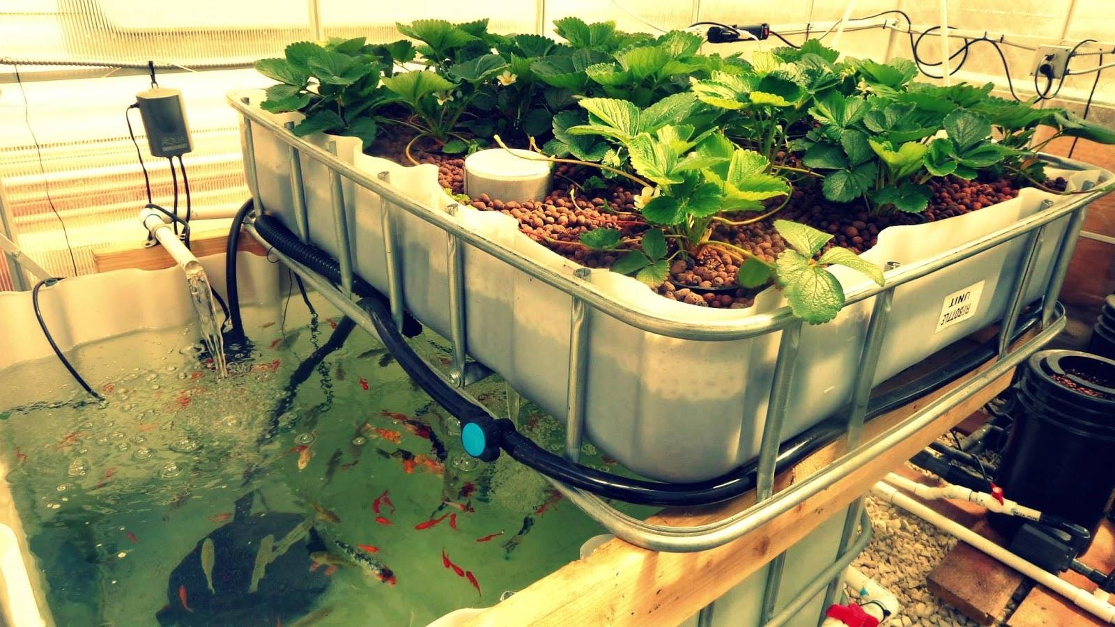 Bạn có thể sử dụng nguồn thực phẩm an toàn nhờ mô hình trồng rau sạch và nuôi cá
