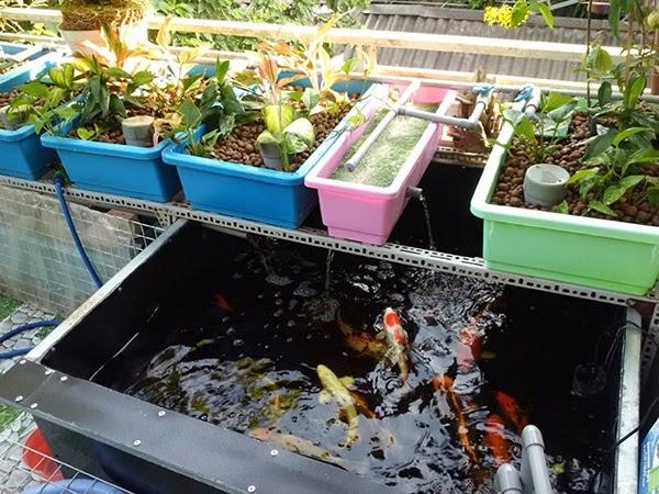 Mô hình trồng rau sạch kết hợp nuôi cá không nuôi cây phát triển bằng đất dinh dưỡng