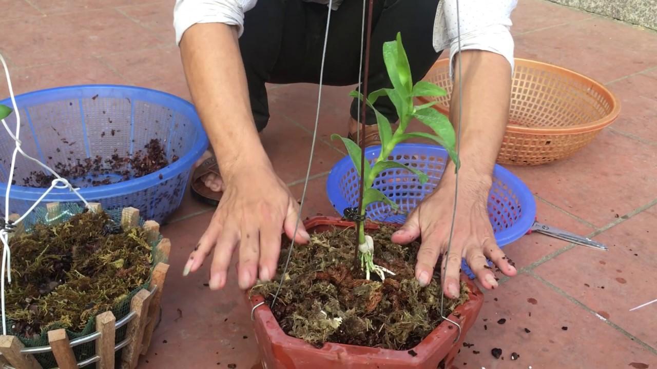 Hướng dẫn cách trồng và chăm sóc hoa lan mặt khỉ
