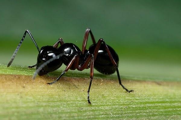 Kiến đen hại thân cây tan tác