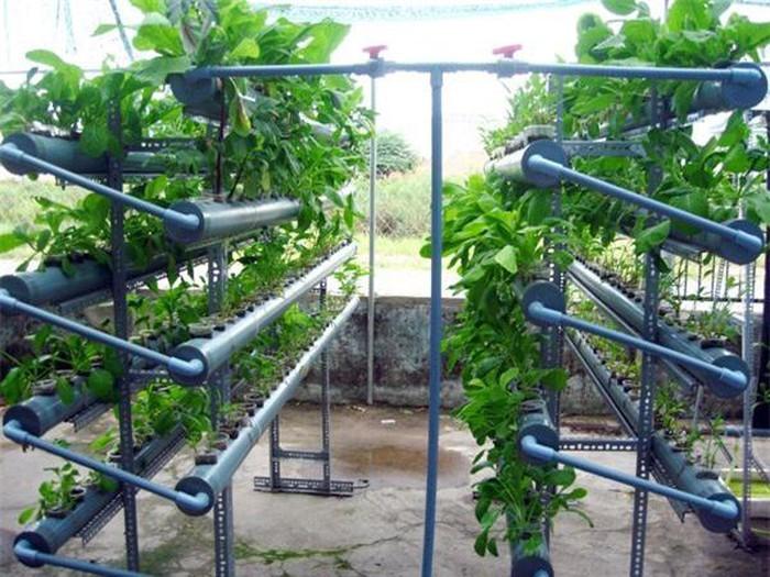 Kỹ thuật trồng rau thủy canh trong ống nhựa khá đơn giản