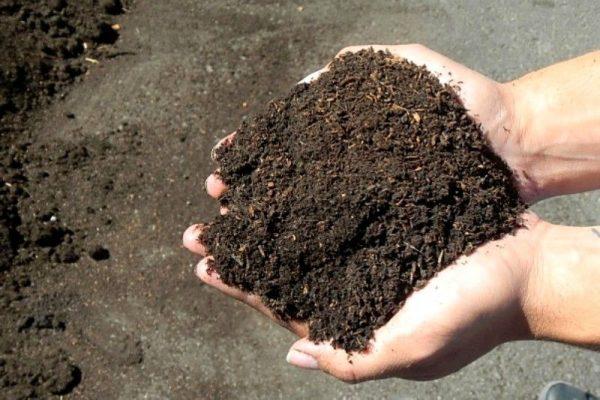 Trộn đất trồng sen mini