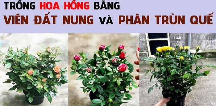 cách trộn đất trồng hoa hồng