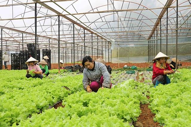 Thu hoạch rau sạch xuất khẩu