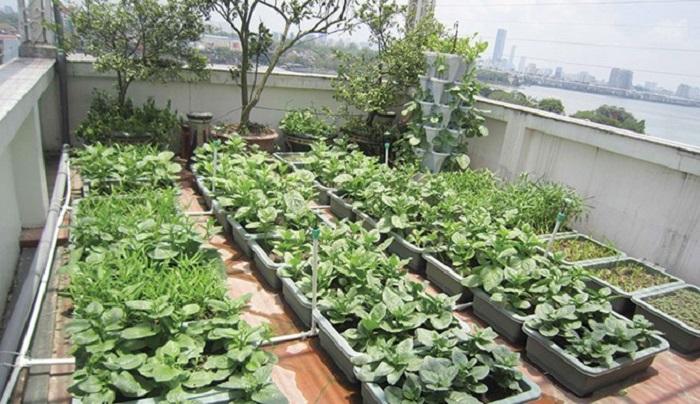 Hệ thống tưới phun mưa cho rau