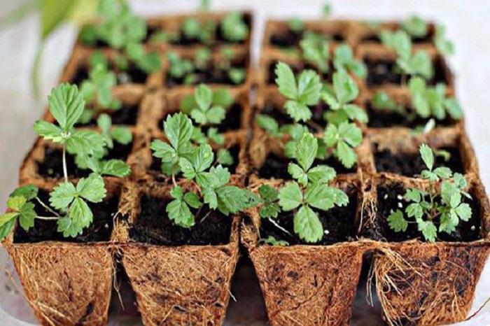 Làm đất trồng dâu tây đơn giản tại nhà