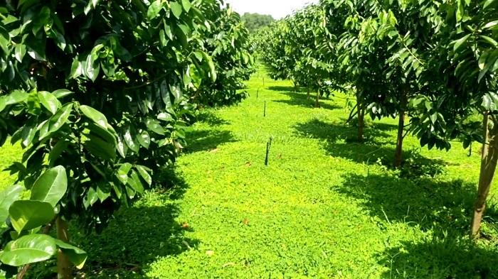 Hệ thống tưới cây ăn trái 3 trong 1