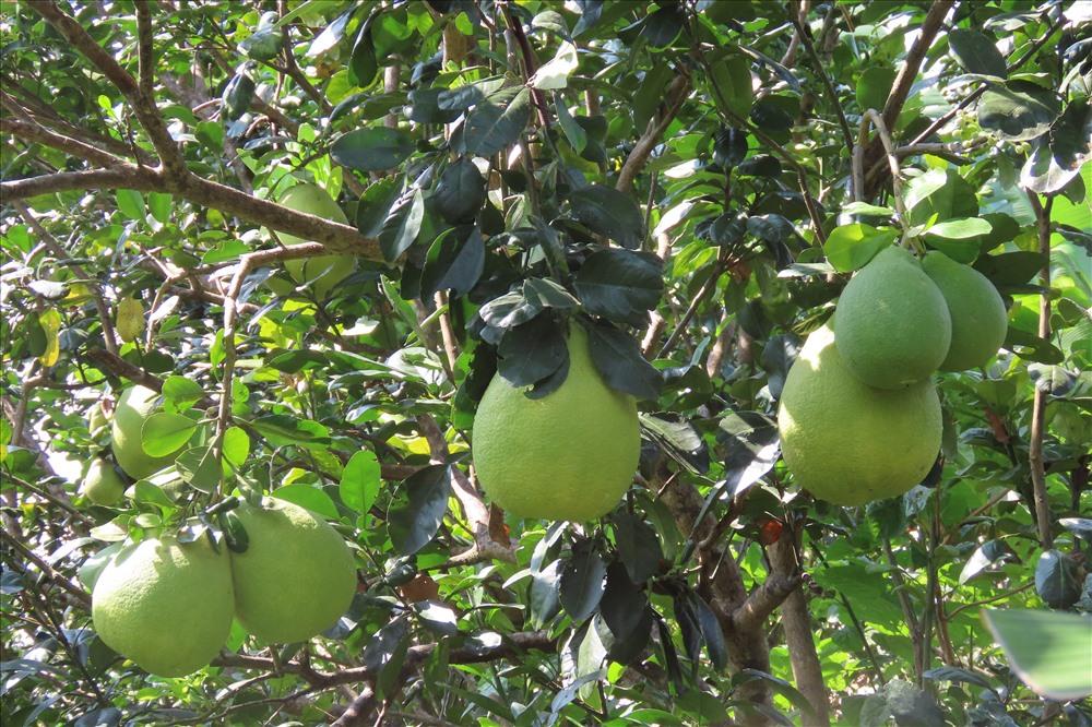 Đất phèn trồng cây ăn trái gì