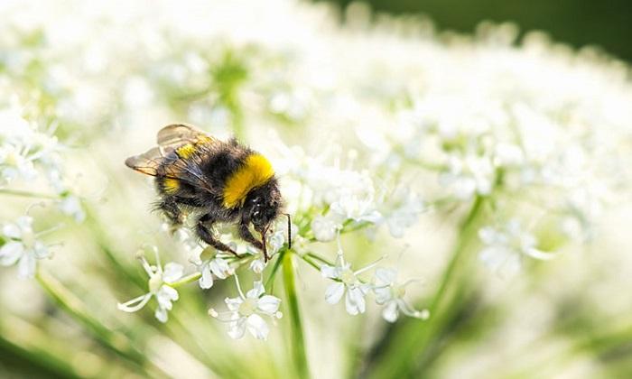bí quyết thu hút ong vào thụ phấn cho vườn rau của bạn