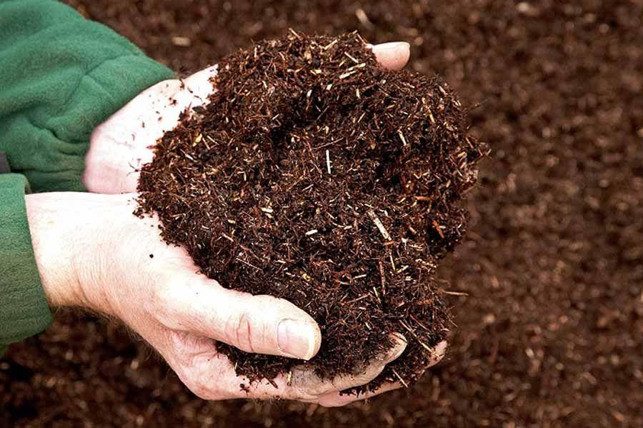 Cây Lan Ý trồng đất