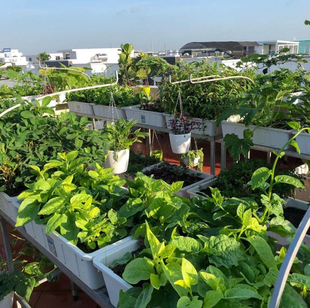 Chậu nhựa trồng rau trên sân thượng