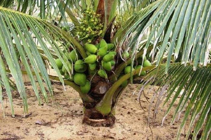 Cách làm đất trồng dừa