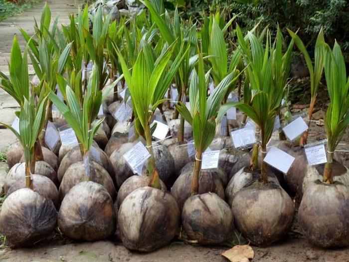 Làm đất trồng dừa