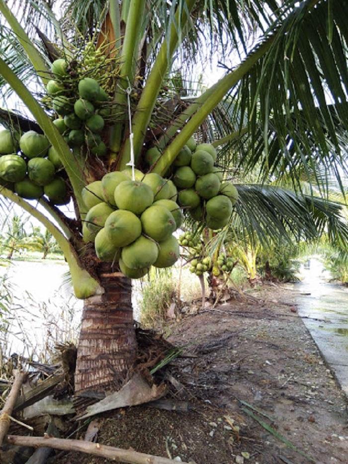 Kỹ thuật làm đất trồng dừa