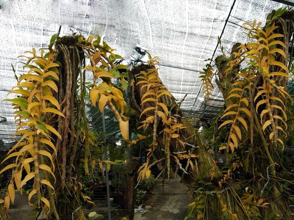 Phong Lan bị ngộ độc phân bón