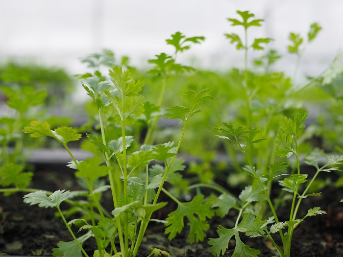 trồng rau mùa đông ăn không hết