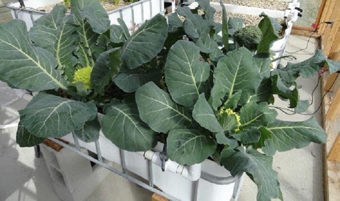 nên trồng rau gì vào mùa đông lạnh