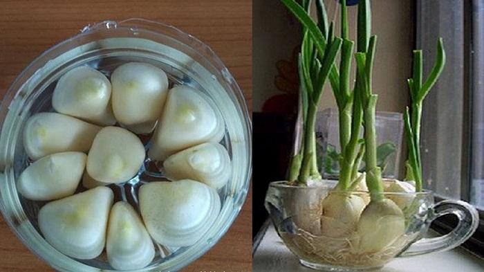 cách trồng lại rau củ thừa