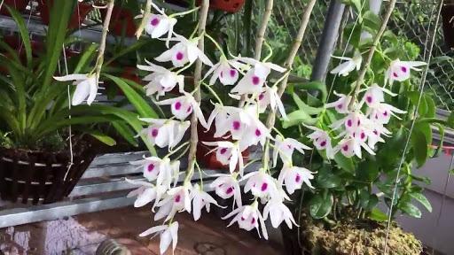 Hoa phong lan đẹp được chăm sóc tốt.