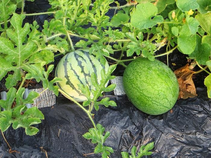 tư vấn cách trồng dưa hấu tại nhà