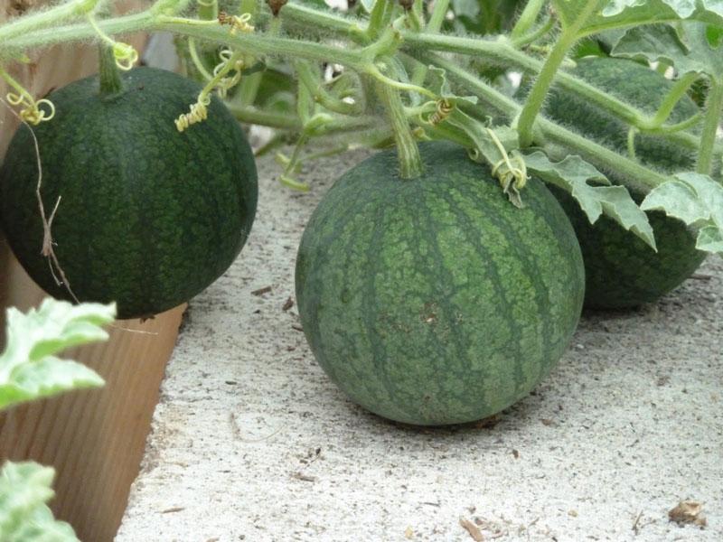trồng dưa hấu tại nhà