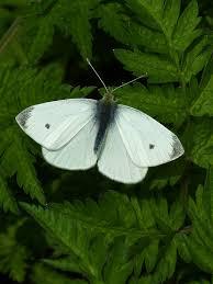 Cách nhận biết bướm trắng