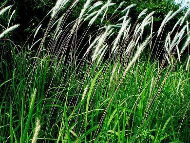 Cỏ tranh gây ảnh hưởng đến cây trồng xung quanh