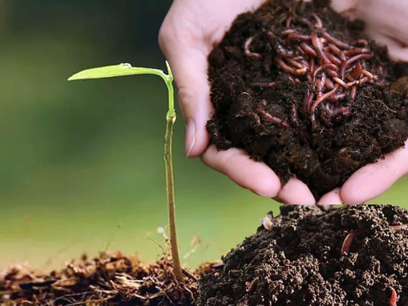 Phân bón trùn quế giúp cải tạo đất trồng vô cùng tốt
