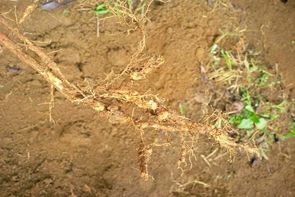 Rễ cây bị tuyến trùng xâm hại