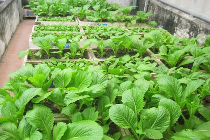 bí quyết trồng cải xanh tươi tốt quanh vụ