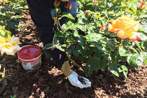 Bón phân hữu cơ cho hoa hồng