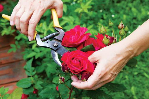 Cắt tỉa cho hoa hồng