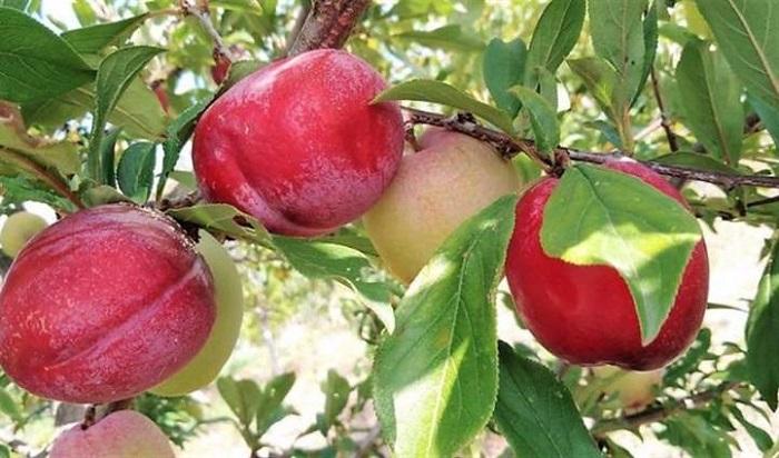 nguyên nhân cây ăn trái không cho quả
