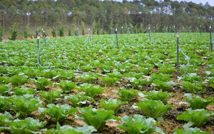 Đất trồng cây hàng nằm gồm đất trồng và trồng cây hàng năm khác