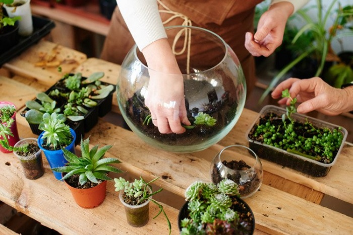 trồng sen đá tại nhà