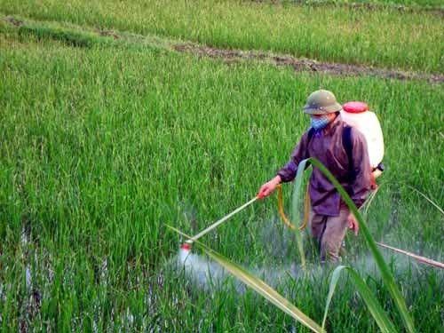 Nông dân đang phun thuốc diệt cỏ