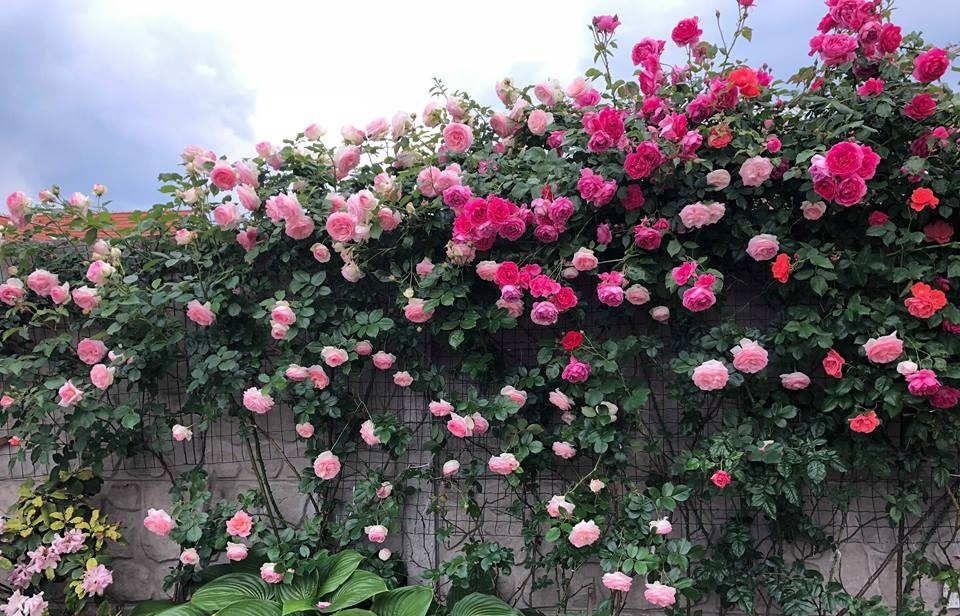 Lợi ích của việc sử dụng phân bón hữu cơ cho hoa hồng