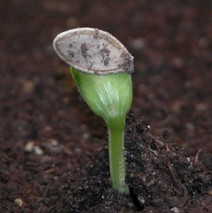 cách trồng bí ngòi trên sân thượng
