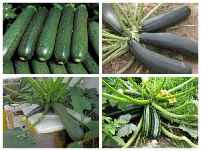 trồng bí ngòi trên sân thượng
