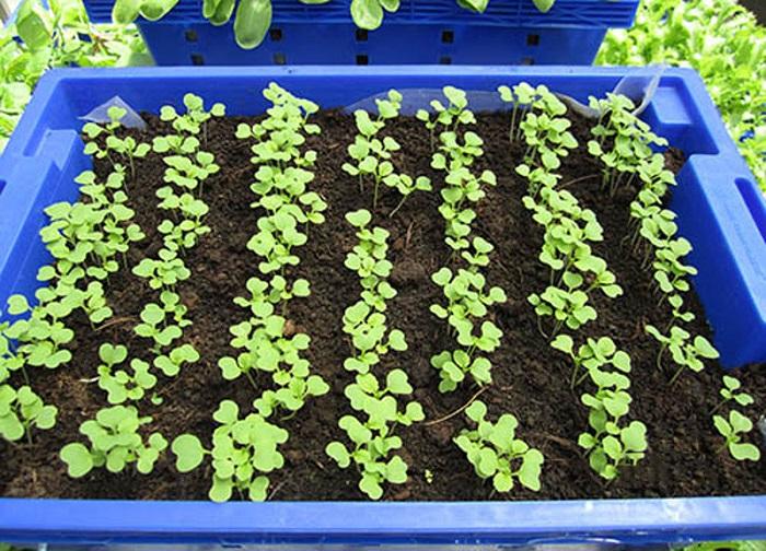 cách trồng cải xanh tại nahf