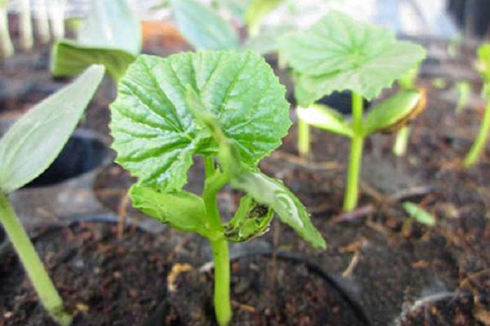 bí quyết trồng mướp tại nhà sai quả