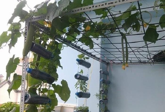 cách trồng mướp sai quả