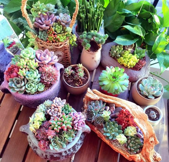 cách trồng sen đá tại nhà